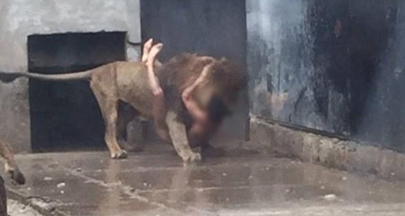 Genç adam aslanların arasına atladı !