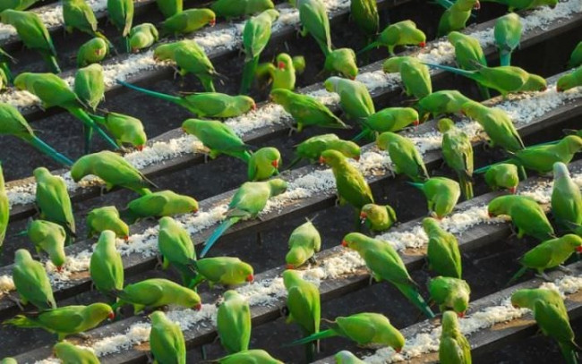 4 bin papağanı besliyor