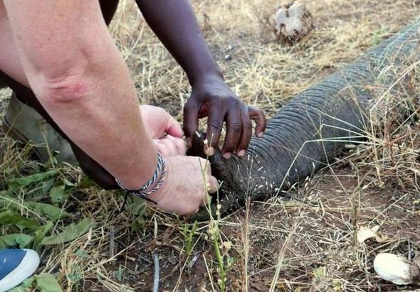 Vurulan fil insanlardan yardım istedi