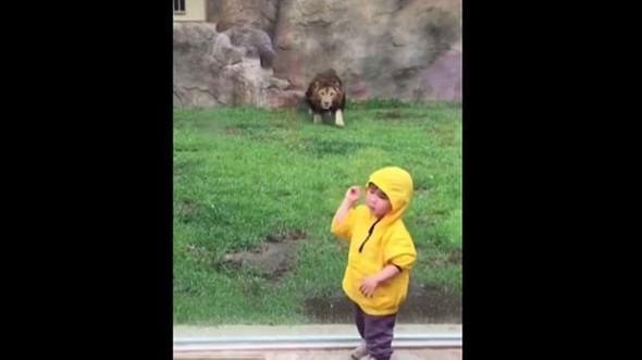 Aslan küçük çocuğun üzerine koştu ve...