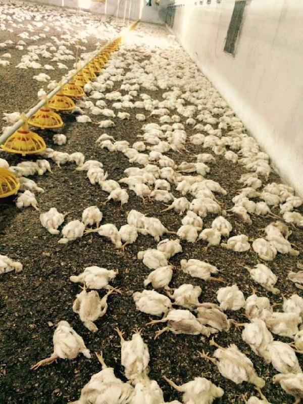 Bir gecede 28.000 tavuk telef oldu