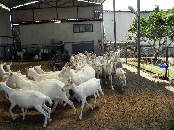 İstanbullu mimar keçi çiftliği kurdu