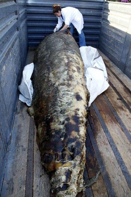 Gagalı balina ölüsü kıyıya vurdu