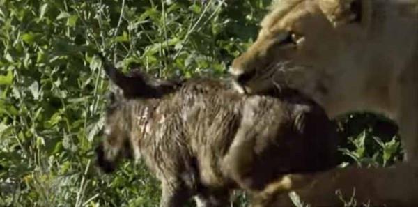 Aslanın antilop sevgisi