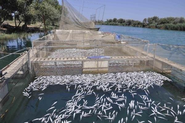 600 bin balık telef oldu !
