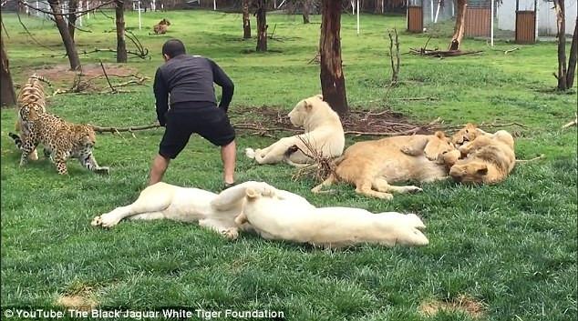 Leopar saldırısından, kaplan kurtardı !