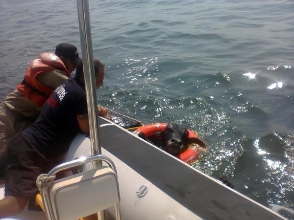Denizden Angus Kurtarma Operasyonu