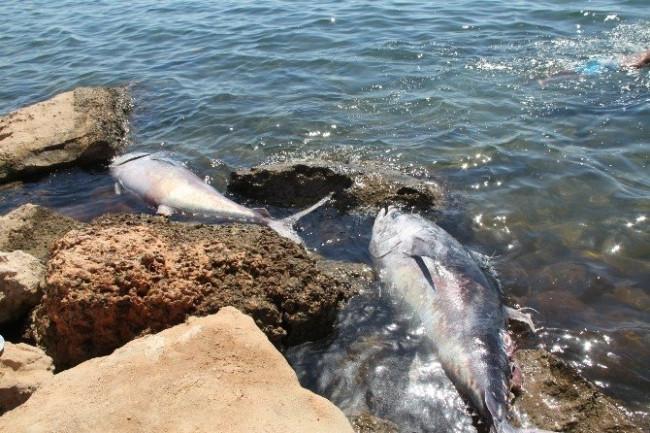 100 kiloluk orkinoslar kıyıya vurdu