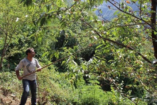 Katil arılar 20 bin ağacı kuruttu !