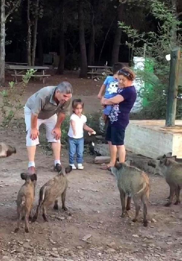 2.5 yaşındaki Zeynep yaban domuzlarını eliyle besledi