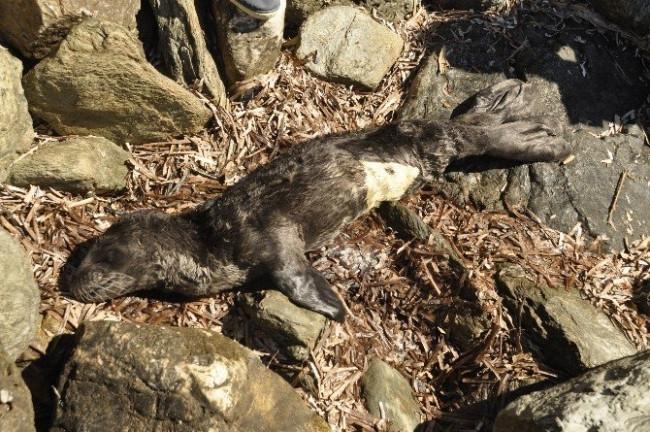 Köylünün sevgisi yavru foku öldürdü