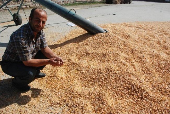 Çiftçinin çaldırdığı mısırlar bulundu