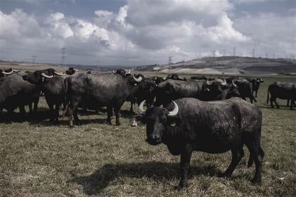 İstanbul manda sütü üretiminde birinci sırada
