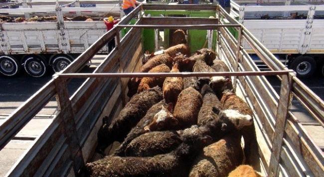 İthal 20 bin sığır Mersin'e getirildi !