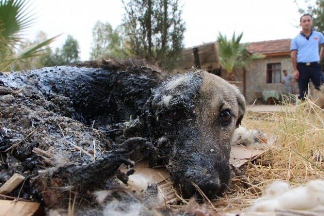 Zifte Giren Köpek Kurtarıldı