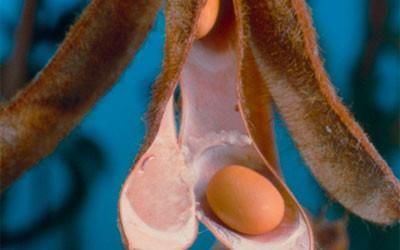 Mucizevi bitki soya