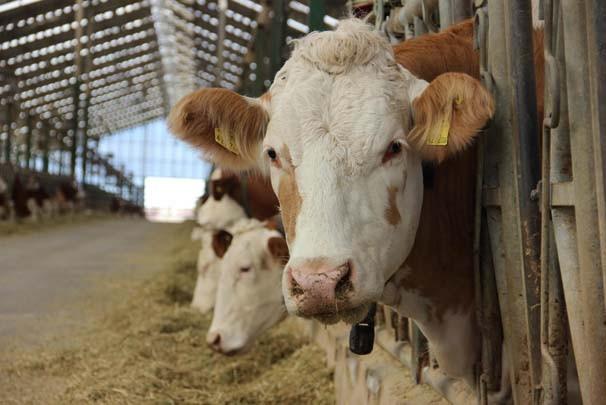 ODTÜ'lü mühendislerin sığır çiftliği Avrupa'da bir numara oldu