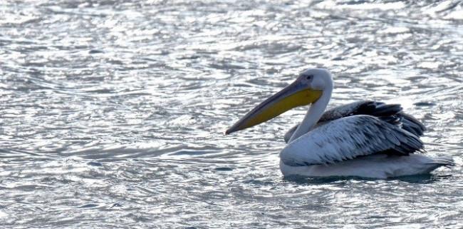 Van Gölü'nde ak pelikan heyecanı