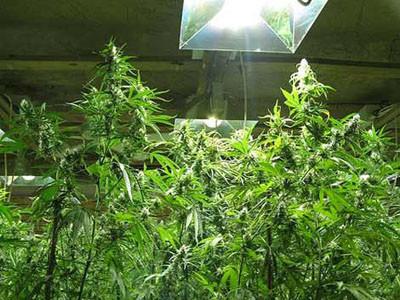 Gizli uyuşturucu tarlaları