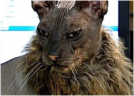 Dünyanın en çirkin kedisi !