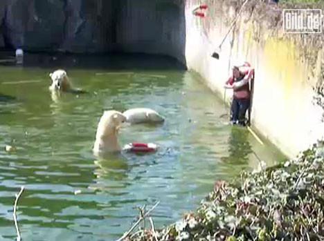Kutup ayılarının havuzuna düştü!
