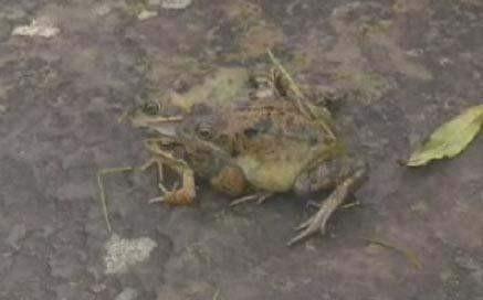 Üç başlı kurbağa