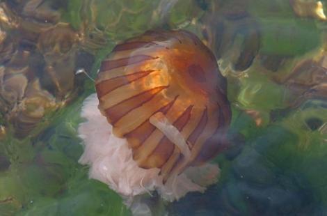 İzmir Körfezinde zehirli deniz anaları