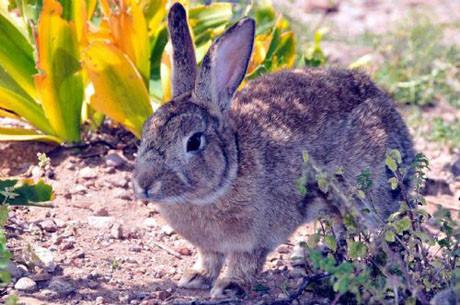 Tavşan adası köpek istilasına uğradı