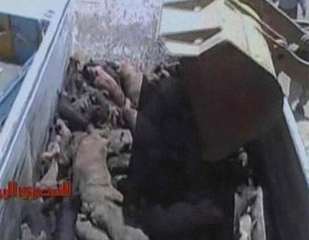Domuzları diri diri gömdüler