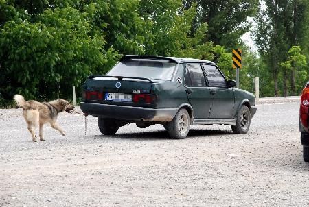 Asıl hayvan direksiyondaki