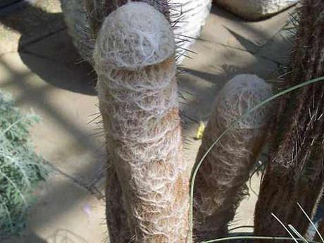Müstehcen kaktüsler