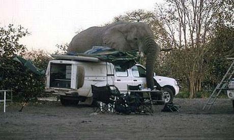 Fil arabayı ezdi !