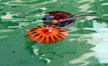 Bilimadamlarından denizanası uyarısı