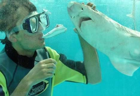 Köpek balıklarını ağzıyla besliyor