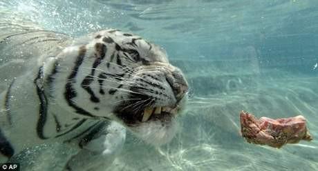 Bu kaplan suyu çok seviyor