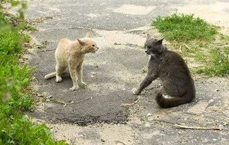 İki kedinin vahşi düellosu