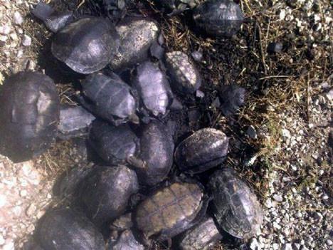 Kaplumbağaları diri diri yaktılar