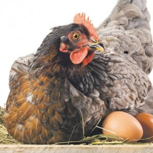 Yumurta sektörüne kuş gribi darbesi !