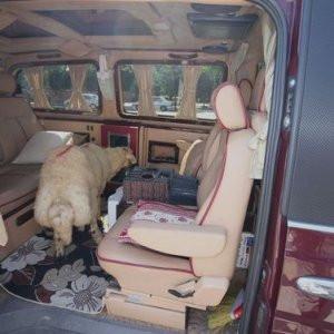 Kurbanlığını VIP minibüste taşıdı !