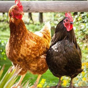 ''Tavuk yemi'' 1 Ocak'tan itibaren yasaklanıyor
