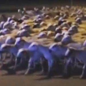 Koyunlar özgürlüklerini ilan etti