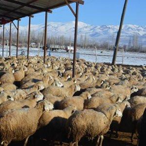 Yüzlerce koyun ölü yavru doğurdu