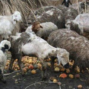 Koyunlar neden bu hale geldi ? Ortaya çıktı