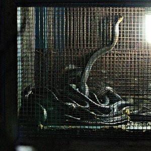 O ülkede kobra yılanı ilaç niyetine kullanılıyor