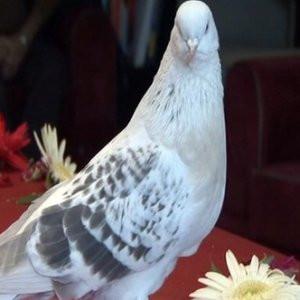 Şebap cinsi güvercin otomobil fiyatına satıldı