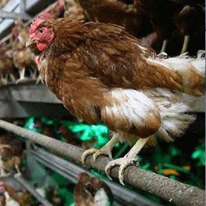 Çin'de kuş gribi alarmı !