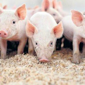 Kaçak kesilmiş 200 kilogram domuz eti ele geçirildi