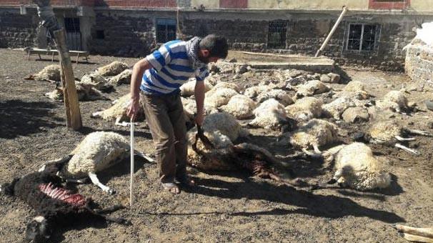 Kurtların saldırdığı 40 koyun telef oldu