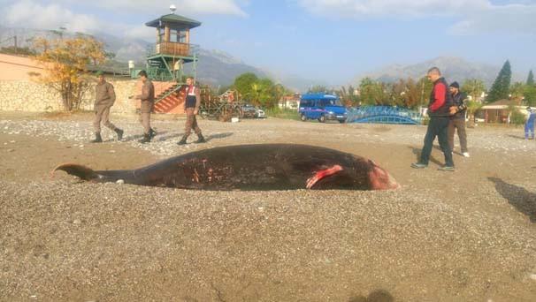 Antalya'da kıyıya 5 metrelik ölü balina vurdu
