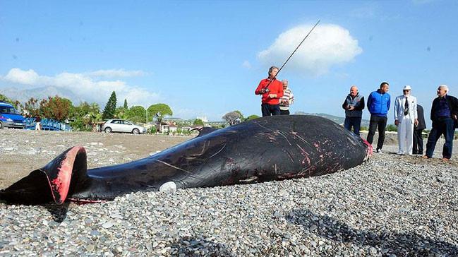 Antalya'da ölü balina kıyıya vurdu